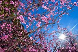 cherry-blossom-1037974__180