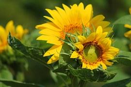 sunflower-547318__180