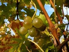 grapes-849754__180